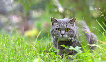 Adult gray cat sitting on sunny day in grass.