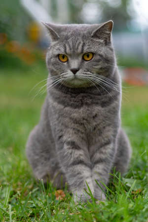 An incredibly beautiful gray British cat with orange eyes sits on lawn.