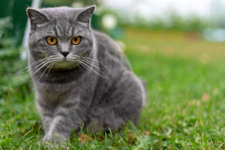 Gray adult domestic cat with orange eyes sitting in grass and looking to the right. Copy space.