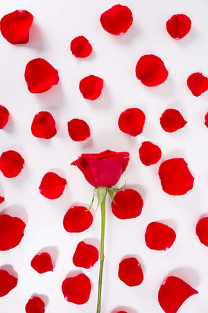 Fresh red rose on petals background. Isolated on white. 8 march, 14 february, st valentine day and women's day concept. Open composition. Top view. Rose petals on white background.