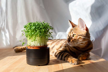 Microgreens in ceramic pot on wooden background. Bengal cat basking in morning spring sun lights. Still life and isolation concept.