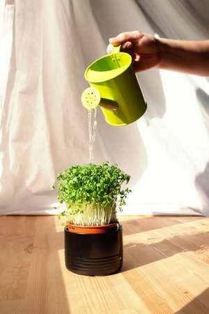 Unrecognizable person pours microgreens in ceramic pot from green watering. Green living concept. Organic food. Greenery on wooden windowsill.