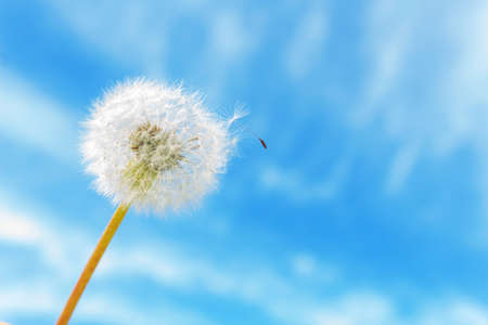 Dandelion on clear blu sky background with one seed. Copy space. Sunny summer day. Blowing away in the wind.