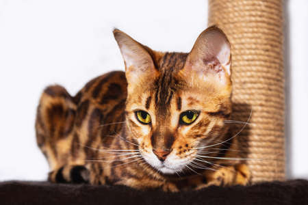 Amazing bengal cat resting on claw sharpener. Close up of unique spotted domestic cat. Focus on cat.