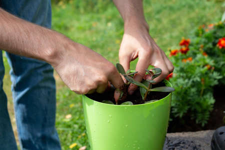 Young farmer plants plant in white pot.