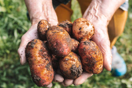 Fresh potatoes harvest very old womans hands.
