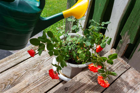 Watering rosebush with watering can. Old porch.