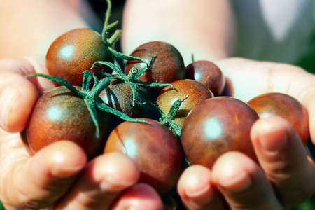 Ripe black. cherry tomatoes in womans hand. Standard-Bild