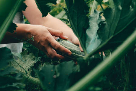 Hands with zucchini during harvesting on farm.