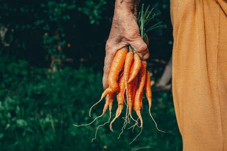 Carrots harvest in very old womans hand. Standard-Bild