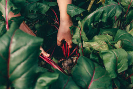 Hands with beet during harvesting on farm.