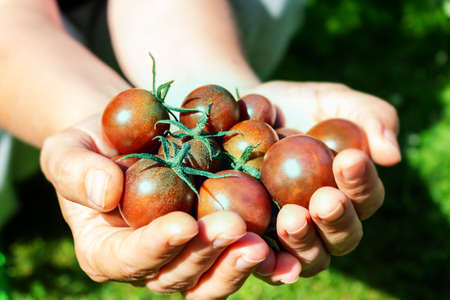 Ripe black cherry tomatoes in womans hand.