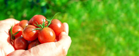 Ripe red cherry tomatoes in womans hand. Standard-Bild