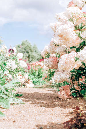 Summer garden path with amazing pink hydrangeas. Standard-Bild