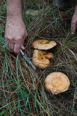 lactarius: Lactarius Deliciosus  niscalos or rovellons