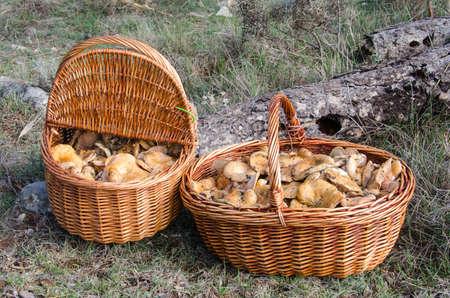 lactarius: Lactarius Deliciosus  niscalos or rovellons Stock Photo