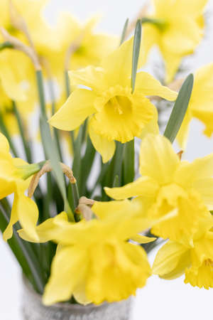 Yellow narcissus with shallow depth of view. Archivio Fotografico