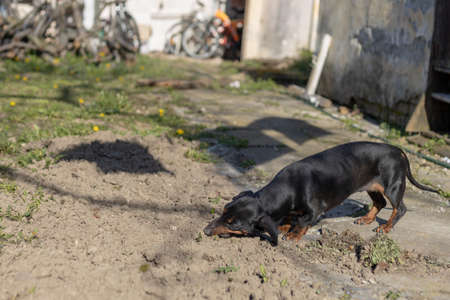 Black Dachshund on the sunny day playing.