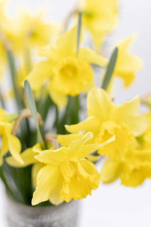 Yellow narcissus with shallow depth of view.