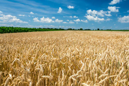 Yellow wheat field with blue sky full of white clouds. Imagens