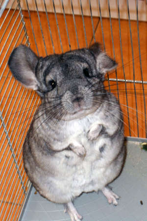 Chinchilla in a cage. The animal stands on its hind legs.