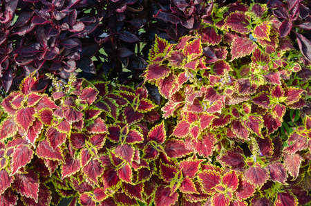 Red and green leaves of the coleus plant, Plectranthus scutellarioides 版權商用圖片