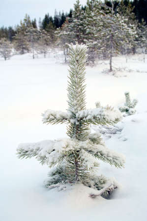 Small snow-covered firtree grows in the forest in the middle of snowdrift. It is in the Siberia. photo