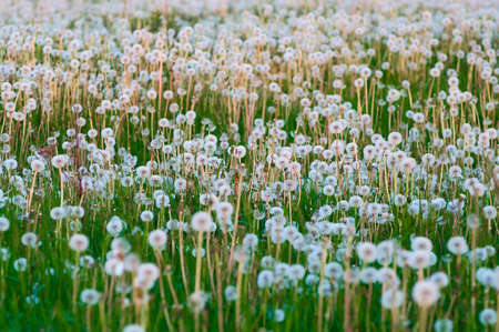 Dandelions field this many white downy flowers and green stems. Background photo