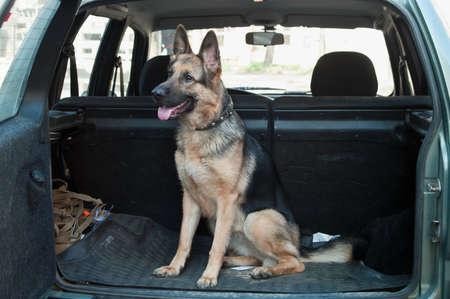 dog summer: Alsatian dog in back seat of car. Pet transportation Stock Photo