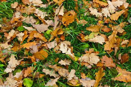 oaken: Background from yellow oaken leaf on green grass. Autumn Stock Photo