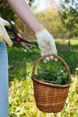 A woman gathers fresh nettles in a field