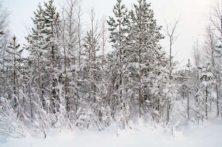 Snowy trees in the forest. Karelia in winter season. Russia photo