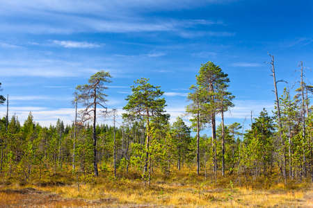 Evergreen forest in Karelian marshes with blue sky in summer season photo