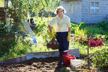 Mature woman in own garden holding bunch of fresh picking potato photo