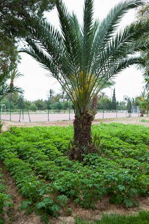 granger: MONASTIR, TUNISIA - CIRCA MAY, 2012: Potatoes growing on kaleyard in hotel territory, on circa May, 2012 in Monastir, Tunisia.