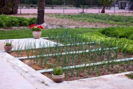 granger: MONASTIR, TUNISIA - CIRCA MAY, 2012: Bulb onions growing on kaleyard in hotel territory, on circa May, 2012 in Monastir, Tunisia.