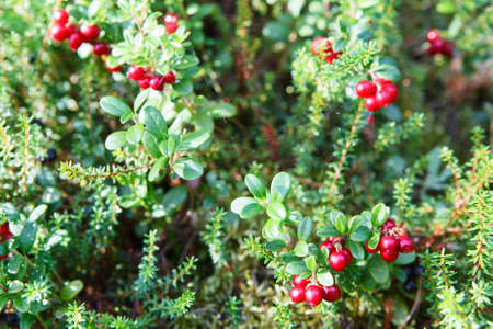 reb: Reb cowberries growing on green brunches Stock Photo