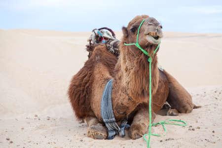 Dromedary camel laying on sand dune in desert Stock Photo - 16797632