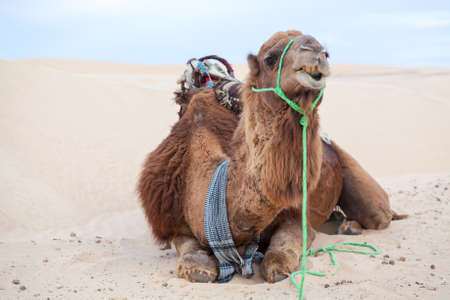 Dromedary camel laying on sand dune in desert Stock Photo - 16797632