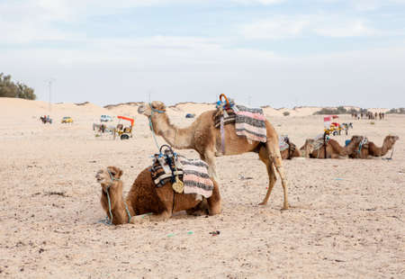 dromedaries: Camels dromedaries at rest in Sahara desert, Tunisia