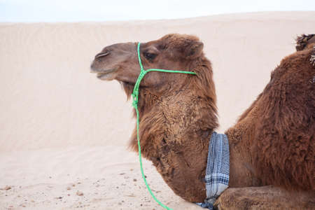 Camel dromedary in profile at rest in Sahara desert Stock Photo - 16797635