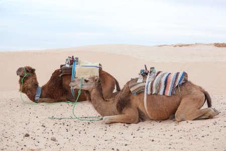 dromedaries: Resting camels dromedaries in Sahara desert Stock Photo