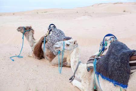 Camels dromedaries at rest in Sahara desert Stock Photo - 16797634