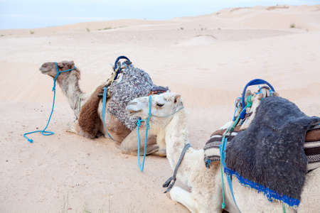 Camels dromedaries at rest in Sahara desert Stock Photo - 16797634