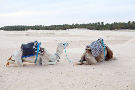 Two camels dromedaries resting in Sahara desert Stock Photo - 16797638