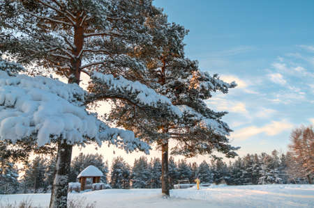 Winter pines in evergreen forest with sunset on sky Stock Photo - 17230898