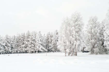 Snow covered white birches and evergreen pines in winter season photo