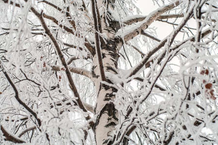 Birch brunches ice covered and stem in cold winter  Close-up view photo