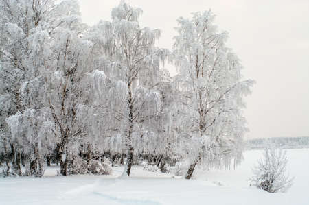 frozen lake: Snow covered white birches on lake shore in winter season