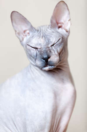one eye closed: Sphynx cat portrait. Looking at the camera with closed eyes